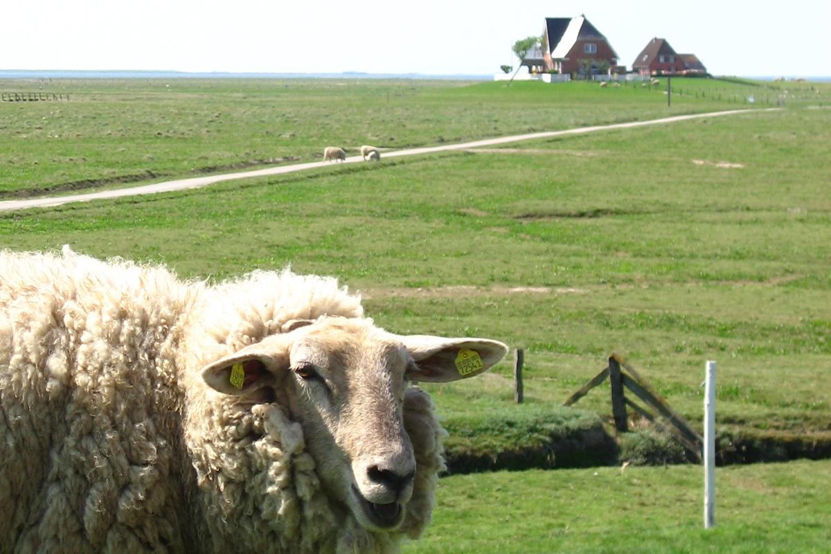 Drüben auf dem Hügel: Auf den Straßen der Hallig fahren kaum Traktoren, es sind mehr Schafe unterwegs. Foto: Julia Marre